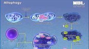 Mitophagy Pathway