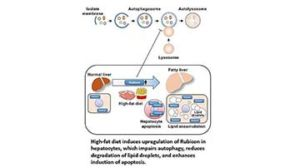 autophagy regulator Rubicon
