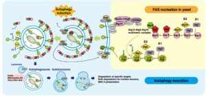 Autophagy cellular self-digestion process