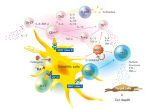 MHC tetramers t cell antigen
