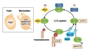 LC3/Atg8